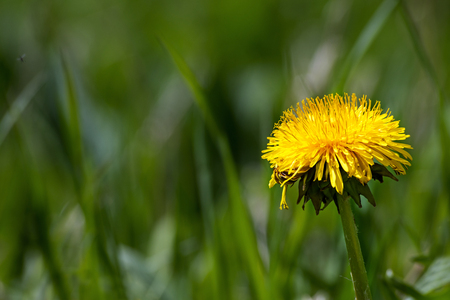 narrow depth of field: single yellow dandelion flower in green grass with plenty of copy space, common lawn weed, closeup with selected focus and narrow depth of field