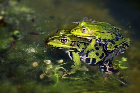 frog egg: green frogs during mating in the pond, male sitting on the female and clutching it