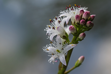 narrow depth of field: Bogbean, menyanthes trifoliata, inflorescence of blooming water plant, closeup with copy space, selected focus and narrow depth of field