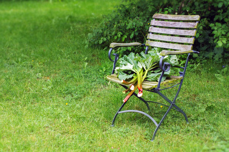 lawn chair: freshly harvested rhubarb stalks with leaves on a lawn chair in the garden, copy space, selected focus, Stock Photo