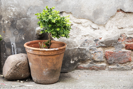 greening: greening in the backyard, earthenware pot with a small boxwood in front of an old brick wall with weathered plaster, selective focus Stock Photo