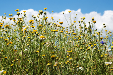 meadow with wild field flowers, especially camomile, Matricaria chamomilla, against a blue sky with clouds, selected focus, narrow depth of field Stock Photo