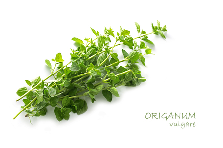 fresh green oregano, Origanum vulgare, isolated with small shadow on a white background with sample text