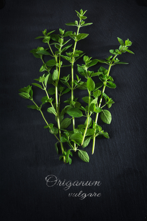 origanum: fresh green oregano on a dark slate plate, sample text Origanum vulgare, view from above, vertical