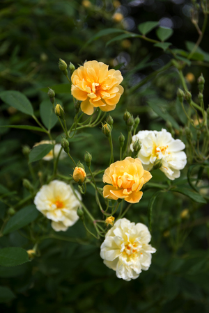 grower: roses in creamy light yellow and apricot from the small rambler rose Ghislaine de F�ligonde, a hybrid multiflora from the French rose breeder Turbat,  selected focus and narrow depth of field, vertical