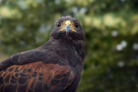 Harriss hawk (Parabuteo unicinctus), frontal portrait of the bird of prey against a blurry forest background