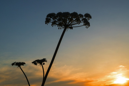 common hogweed (Heracleum sphondylium) almost black silhouette of the flower against the evening sky with sunset, copy space