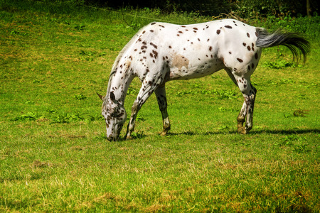 appaloosa: spotted white brown appaloosa horse grazes on the green pasture, copy space