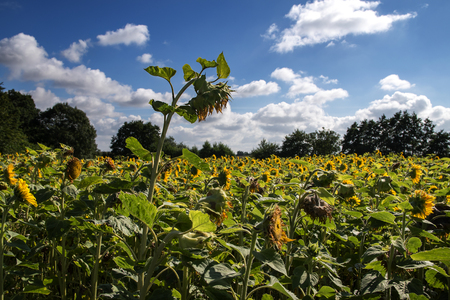narrow depth of field: large ripe sunflower in a sunflower field against the blue sky with white clouds, selected focus, narrow depth of field Stock Photo