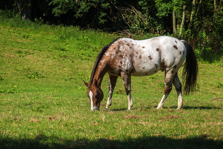appaloosa: spotted appaloosa horse in white and brown grazes on the green pasture, copy space Stock Photo