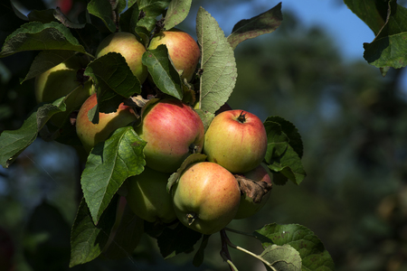 ripe apples on a tree in the organic orchard to harvest time