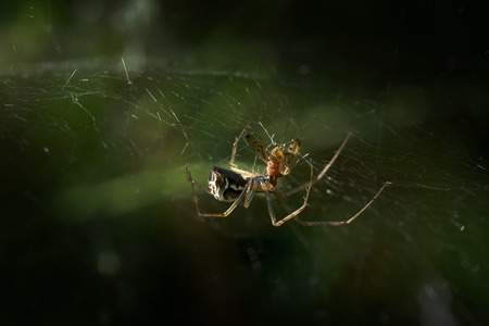 spider, sheet weaver (Linyphia triangularis) eats its prey in the net on a forest meadow, macro shot with copy space, selected focus and narrow depth of field