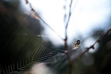 segmentata: small spider (Metellina segmentata) in a big net in the forest, backlit macro shot, selected focus and narrow depth of field
