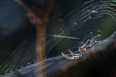segmentata: small spider (Metellina segmentata) in the net at the edge of the forest, backlit macro shot with copy space, selected focus and narrow depth of field