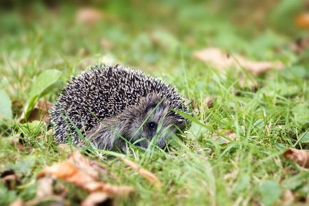underbrush: young hedgehog (Erinaceus europaeus) curled up in the lawn in autumn, selected focus, narrow depth of field
