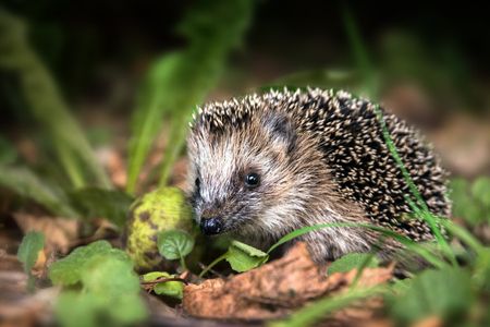 underbrush: little young hedgehog (Erinaceus europaeus) in autumn forest looking for food in the undergrowth, selected focus, narrow depth of field Stock Photo
