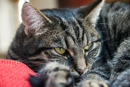 doze: tabby cat relaxing on a red pillow, portrait close up, selective focus Stock Photo