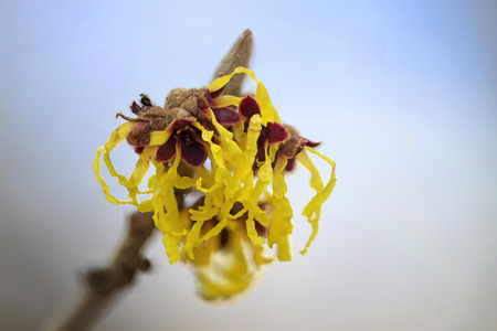 blooming witch hazel (hamamelis mollis), macro shot of the yellow flowers, natural medicine plant, blue sky background with copy space, selective focus, very narrow depth of field Stock Photo