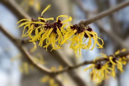 hazel branches: Blooming witch hazel or hamamelis shrub shows yellow flowers in winter, leaves and bark are used as natural remedies Stock Photo