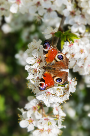 European peacock butterfly (Aglais io) on the white blossoms of a fruit tree in spring, selected focus, narrow depth of field