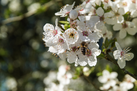 White blossom branch of a plum fruit tree with a bee at pollinating, copy space, selective focus, narrow depth of field Stock Photo