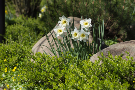 White daffodils in a bed with evergreen box and stones, garden landscape design in spring, copy space, selected focus Stock Photo