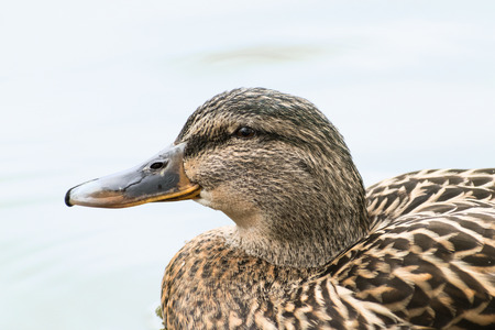 Mallard or wild duck (Anas platyrhynchos) portrait of the female bird, swimming on the lake, close up, selective focus, narrow depth of field Stock Photo