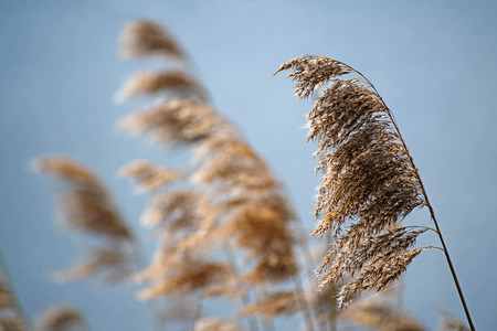 Common reed (phragmites australis) dry seed heads in spring against a blue sky, nature background, selective focus, narrow depth of field Stock Photo