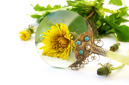 Weed under loupe, dandelion plant with bloom behind a vintage magnifying glass isolated on a white background, selected focus, narrow depth of field Stock Photo