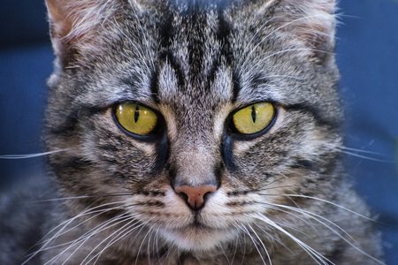 tabby cat frontal portrait, close up against a blue background, selected focus, very narrow depth of field