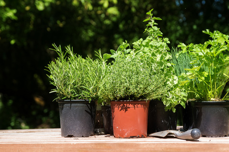 Potted kitchen herbs such as rosemary, thyme, parsley and chives on a wooden board in the sunny garden, for fresh and healthy cooking, selected focus Stock Photo