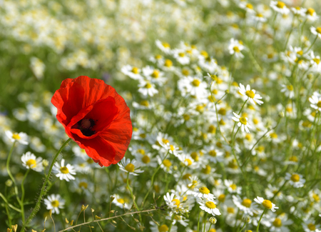 Red poppy on a sunny meadow with white daisies or chamomiles, nature background with copy space, concept of being different and outstanding, selected focus, narrow depth of field