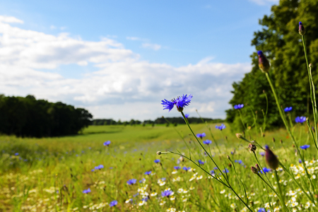 selected: Cornflowers in a wide rural landscape with blooming meadows, bushes and trees, countryside in summer under a blue sky with white clouds, copy space, selected focus, narrow depth of field Stock Photo