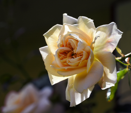 bred: Rose flower, blooming in light pink peach apricot to creamy white, lions rose bred by kordes as a healthy shrub for the garden, close up with selected focus