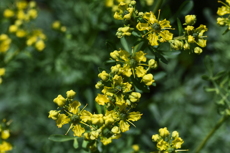 Common rue (Ruta graveolens) yellow flowers over bluish leaves, seen from above, domestic remedy, medicinal and culinary herb, copy space, selected focus, narrow depth of field Stock Photo