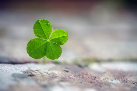 Four leaf clover grows between paving stones, symbol for luck, fortune and assertiveness of nature, close up with copy space in the blurred background, selected focus, very narrow depth of field