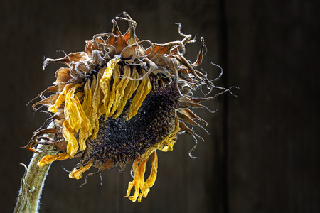 withered sunflower in raking light against dark brown background with copy space, selected focus