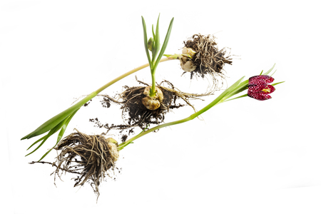 uprooted and still flowering, young chequered daffodil (Fritillaria meleagris) plants with bulbs, roots, buds and flower isolated on a white background, concept metaphor for refugees, homeless and living in exile, copy space