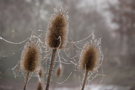 Teasel (Dipsacus fullonum), three dry flower heads with frozen spider webs in winter, blurry background