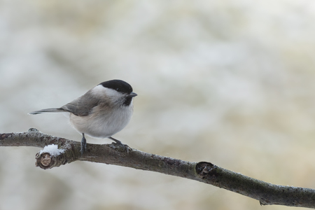 marsh tit (Poecile palustris), a small passerine bird closely related to the willow tit on on a branch in winter, blurred background with copy space