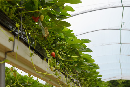 strawberry plants in a modern greenhouse with raised beds on shelves under a transparent plastic roof, copy space, selected focus