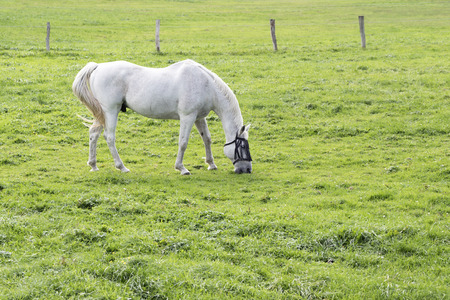 white horse, a grey gelding, grazing in the green pasture, copy space