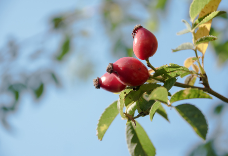 three red rose hips on the bush against the blue sky with copy space, selected focus, narrow depth of field Standard-Bild