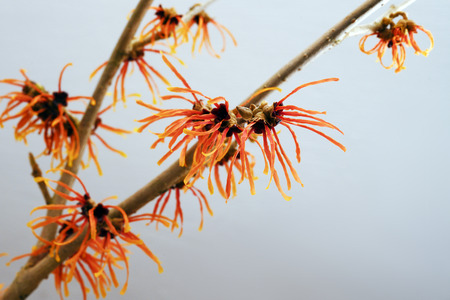 orange blossoming witch hazel branch, medicinal plant Hamamelis against a gray background with copy space, selected focus, narrow depth of field 스톡 콘텐츠