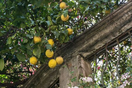 Lemon tree with fruits on an old garden wall in Monterosso, Cinque Terra village on the Mediterranean sea in Liguria, Italy