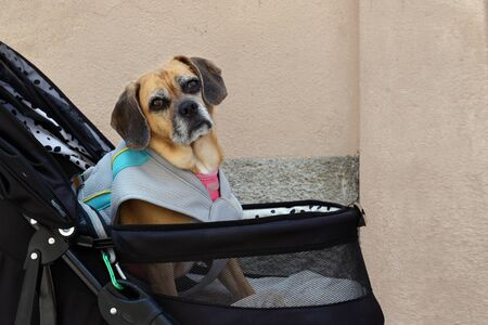 small old dog strapped in a pram during a city walk, copy space 版權商用圖片