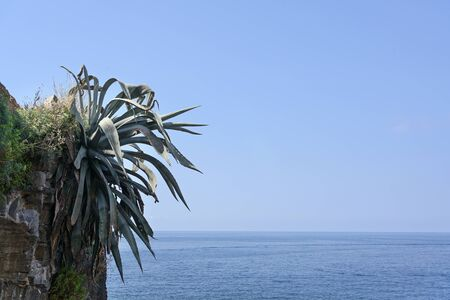 agave plant growing on a rock face over the mediterranean sea against the blue sky with large copy space