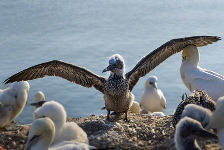 young northern gannet (Morus bassanus) with wings spread out, the seabirds live on the rocks of the island Heligoland in the north sea, Germany, copy space