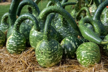 calabash or bottle gourds  of the variety cobra (cucurbita lagenaria) with a long curved neck, decorative ornamental fruits for sale on a farmers market, selected focus Banque d'images