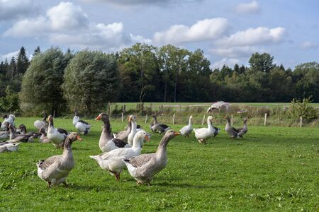 Flock of free-range geese on the pasture in an organic farm under a blue sky with clouds, animal concept for species-appropriate keeping, copy space, selected focus